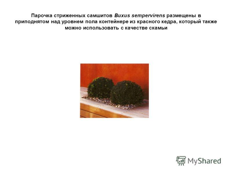 Парочка стриженных самшитов Buxus sempervirens размещены в приподнятом над уровнем пола контейнере из красного кедра, который также можно использовать с качестве скамьи