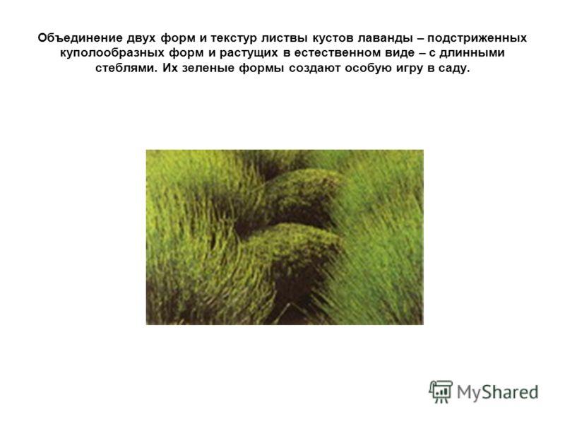Объединение двух форм и текстур листвы кустов лаванды – подстриженных куполообразных форм и растущих в естественном виде – с длинными стеблями. Их зеленые формы создают особую игру в саду.