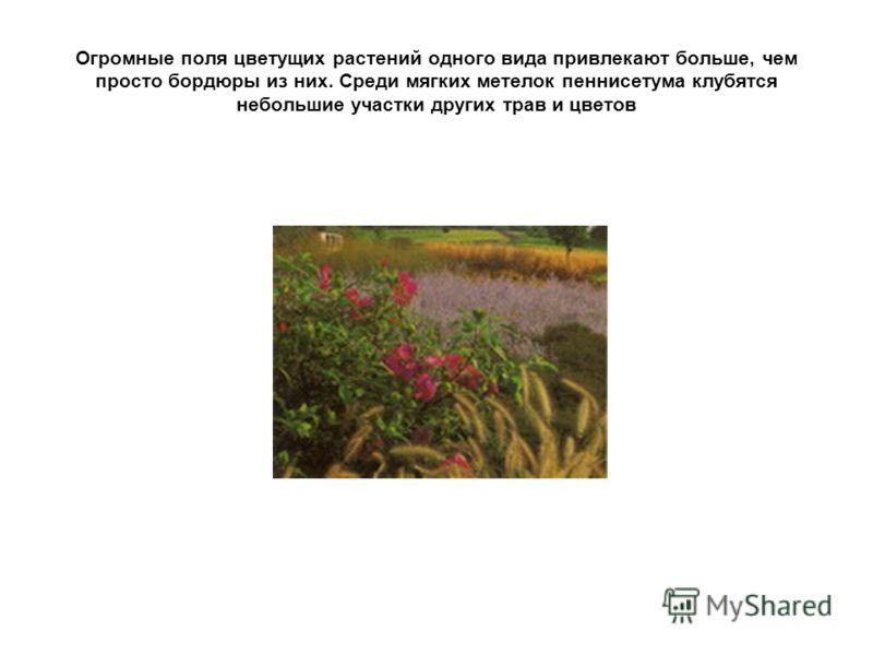 Огромные поля цветущих растений одного вида привлекают больше, чем просто бордюры из них. Среди мягких метелок пеннисетума клубятся небольшие участки других трав и цветов