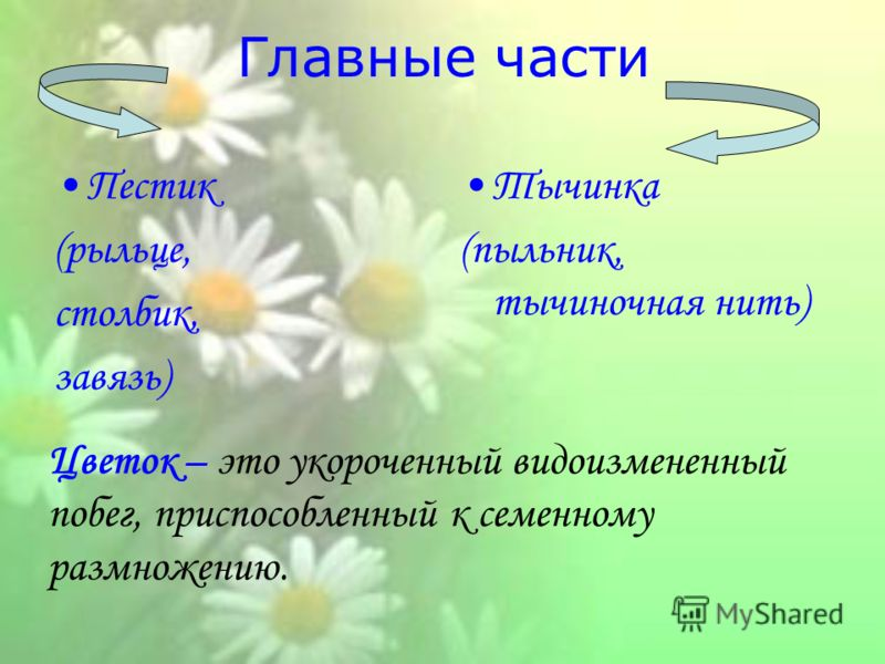 Главные части Пестик (рыльце, столбик, завязь) Тычинка (пыльник, тычиночная нить) Цветок – это укороченный видоизмененный побег, приспособленный к семенному размножению.