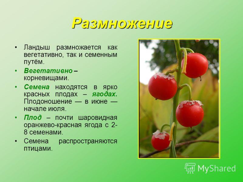 Размножение Ландыш размножается как вегетативно, так и семенным путём. Вегетативно – корневищами. Семена находятся в ярко красных плодах – ягодах. Плодоношение в июне начале июля. Плод – почти шаровидная оранжево-красная ягода с 2- 8 семенами. Семена