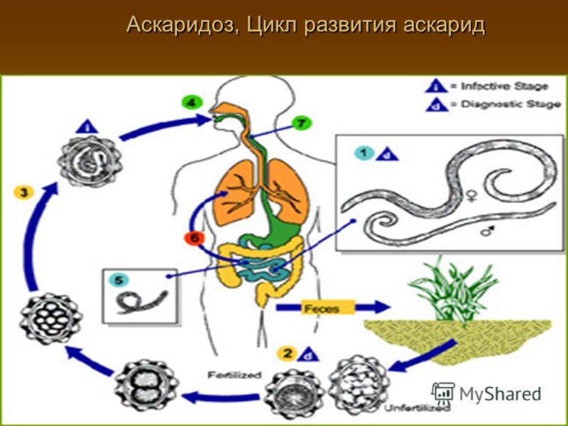 Аскаридоз, Цикл развития аскарид