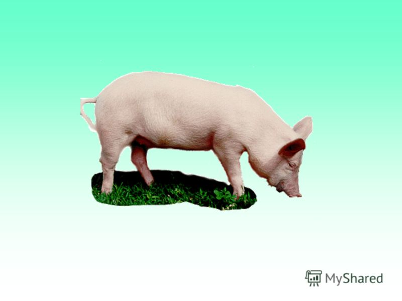 essay domestic animal cow