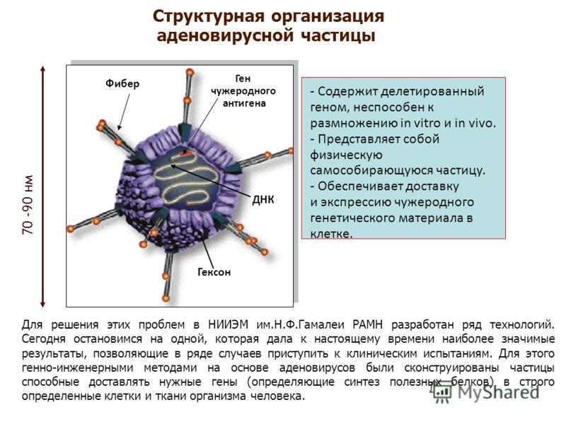 Структурная организация аденовирусной частицы Фибер ДНК Гексон Ген чужеродного антигена 70 -90 нм - Содержит делетированный геном, неспособен к размножению in vitro и in vivo. - Представляет собой физическую самособирающуюся частицу. - Обеспечивает д
