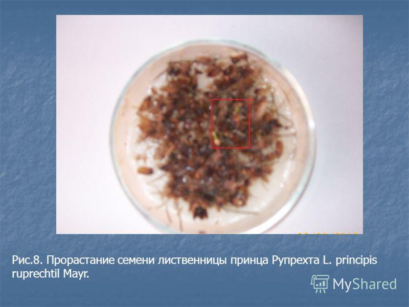 Рис.8. Прорастание семени лиственницы принца Рупрехта L. principis ruprechtil Mayr.