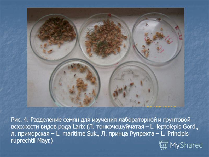 Рис. 4. Разделение семян для изучения лабораторной и грунтовой всхожести видов рода Larix (Л. тонкочешуйчатая – L. leptolepis Gord., л. приморская – L. maritime Suk., Л. принца Рупрехта – L. Principis ruprechtil Mayr.)