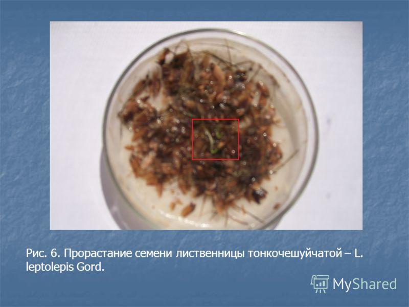 Рис. 6. Прорастание семени лиственницы тонкочешуйчатой – L. leptolepis Gord.