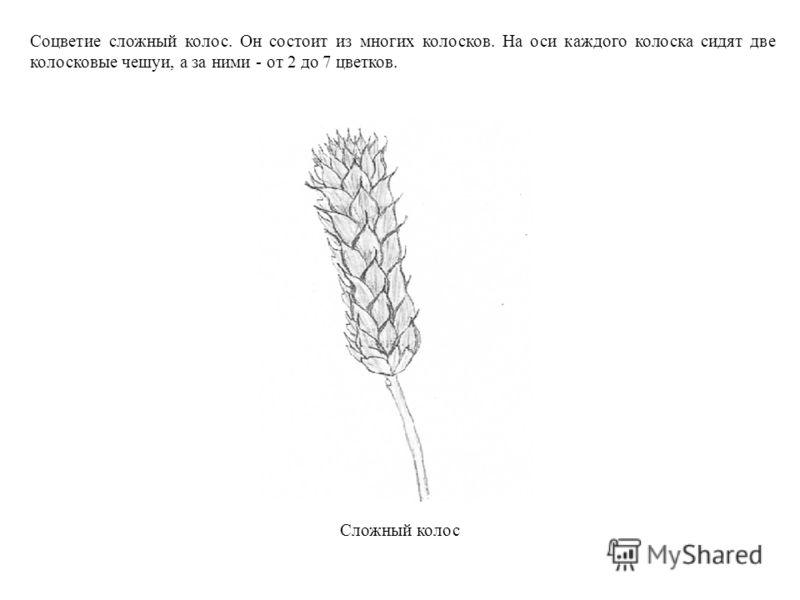 Соцветие сложный колос. Он состоит из многих колосков. На оси каждого колоска сидят две колосковые чешуи, а за ними - от 2 до 7 цветков. Сложный колос