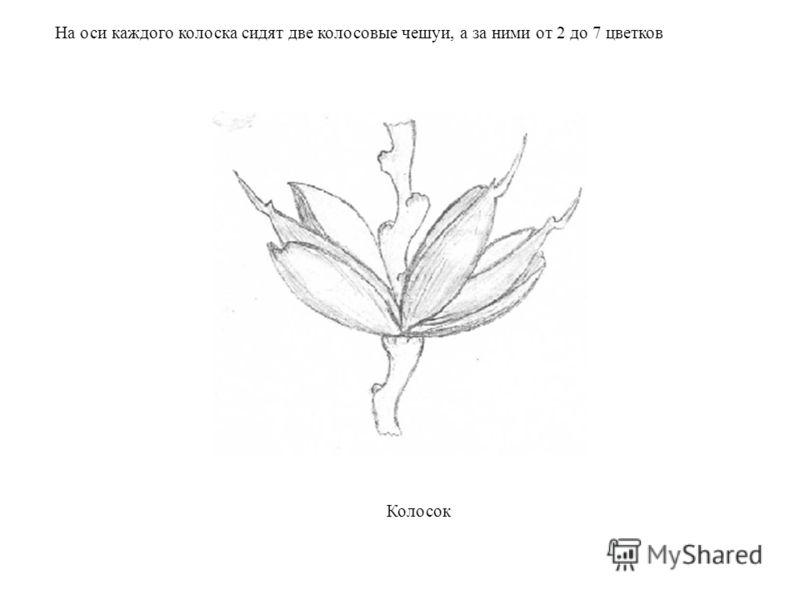 На оси каждого колоска сидят две колосовые чешуи, а за ними от 2 до 7 цветков Колосок