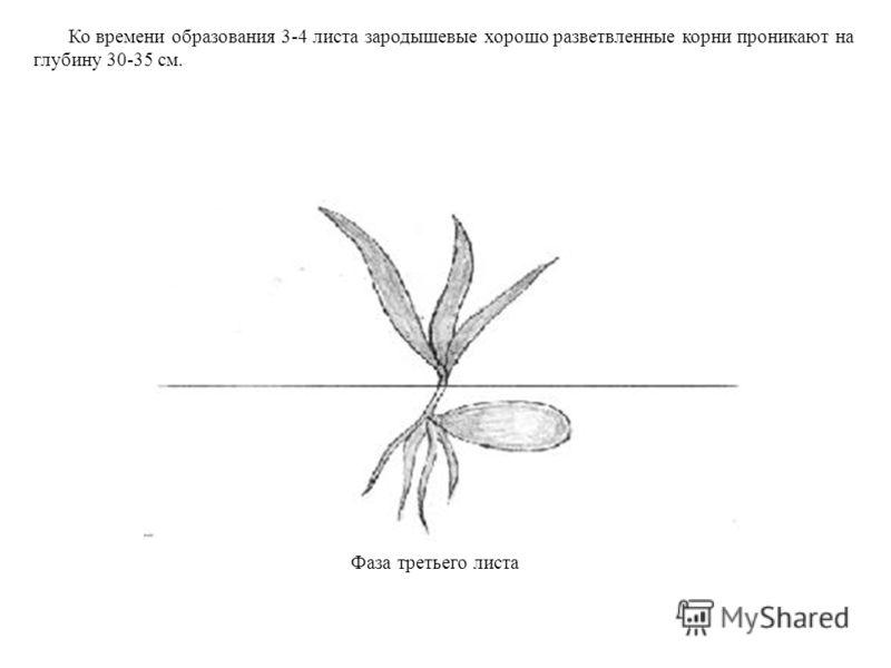 Ко времени образования 3-4 листа зародышевые хорошо разветвленные корни проникают на глубину 30-35 см. Фаза третьего листа