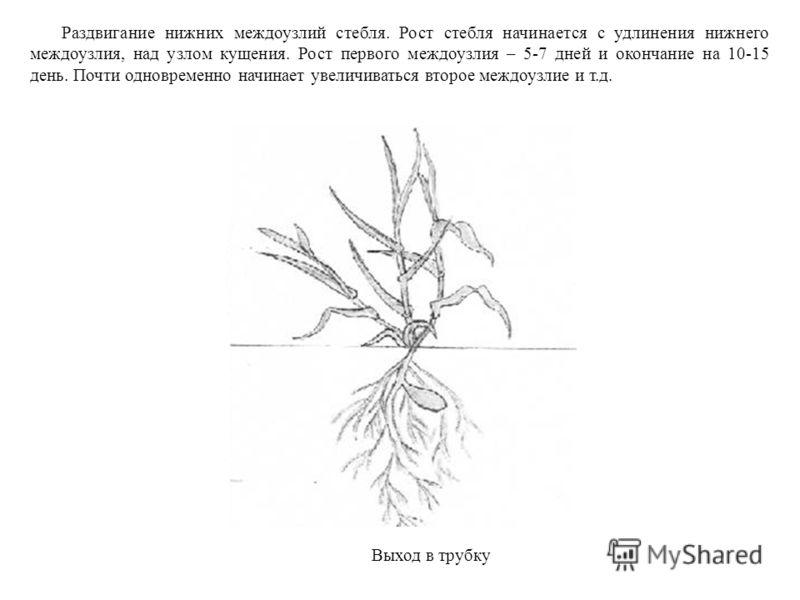 Раздвигание нижних междоузлий стебля. Рост стебля начинается с удлинения нижнего междоузлия, над узлом кущения. Рост первого междоузлия – 5-7 дней и окончание на 10-15 день. Почти одновременно начинает увеличиваться второе междоузлие и т.д. Выход в т