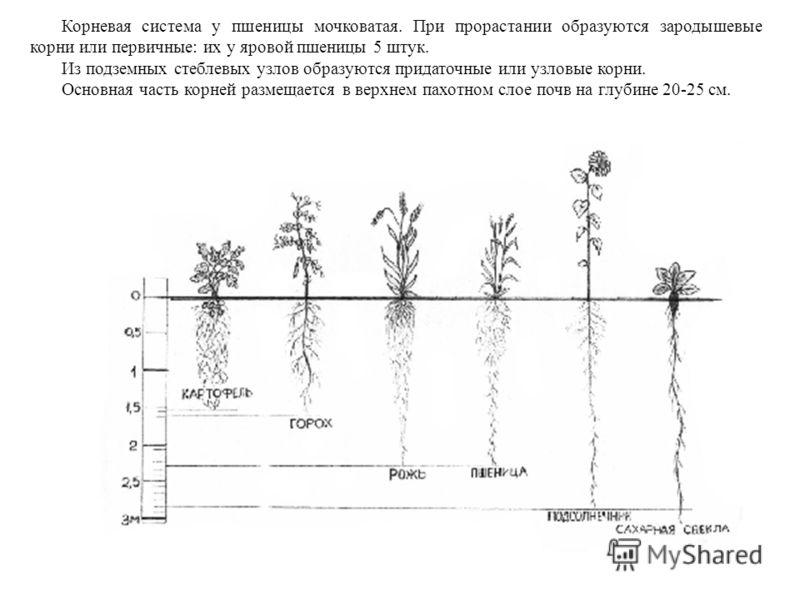 Корневая система у пшеницы мочковатая. При прорастании образуются зародышевые корни или первичные: их у яровой пшеницы 5 штук. Из подземных стеблевых узлов образуются придаточные или узловые корни. Основная часть корней размещается в верхнем пахотном