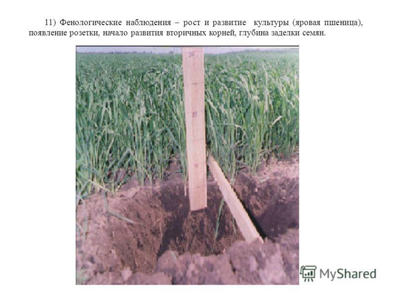 11) Фенологические наблюдения – рост и развитие культуры (яровая пшеница), появление розетки, начало развития вторичных корней, глубина заделки семян.