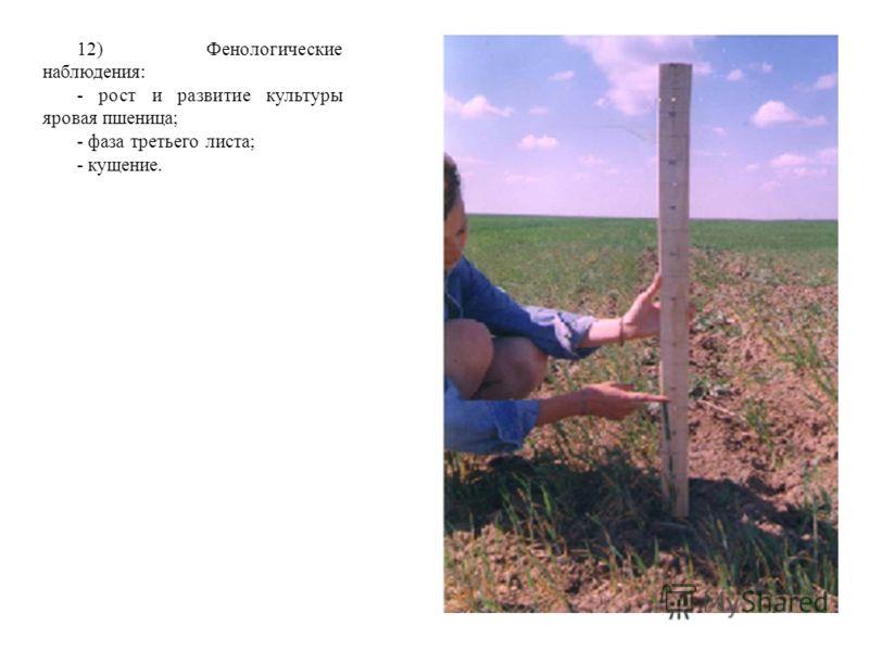 12) Фенологические наблюдения: - рост и развитие культуры яровая пшеница; - фаза третьего листа; - кущение.