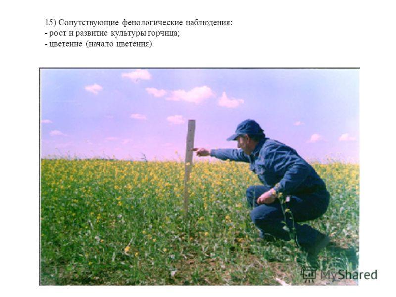 15) Сопутствующие фенологические наблюдения: - рост и развитие культуры горчица; - цветение (начало цветения).