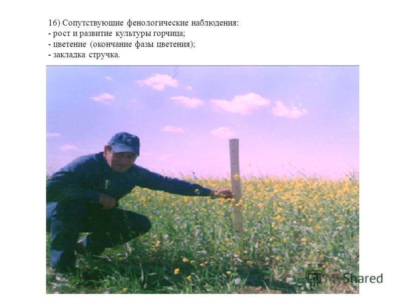 16) Сопутствующие фенологические наблюдения: - рост и развитие культуры горчица; - цветение (окончание фазы цветения); - закладка стручка.