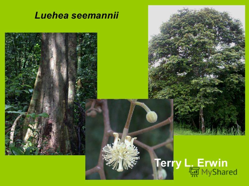 Luehea seemannii Terry L. Erwin
