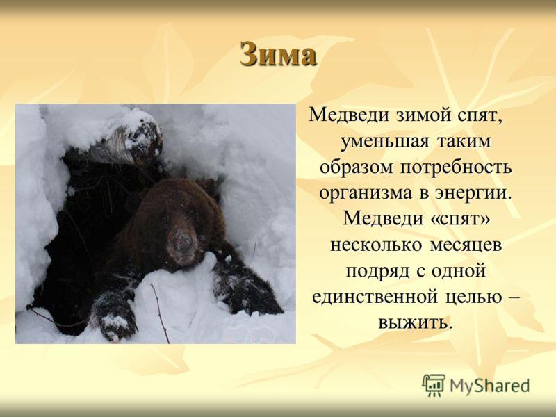Зима Медведи зимой спят, уменьшая таким образом потребность организма в энергии. Медведи «спят» несколько месяцев подряд с одной единственной целью – выжить.