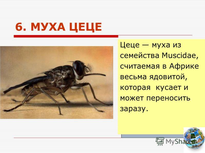 6. МУХА ЦЕЦЕ Цеце муха из семейства Muscidae, считаемая в Африке весьма ядовитой, которая кусает и может переносить заразу.