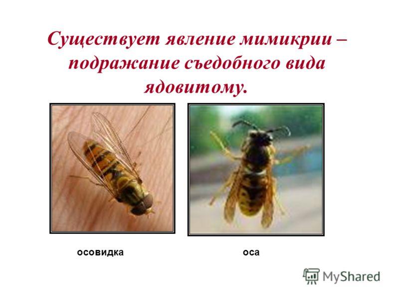 осовидкаоса Существует явление мимикрии – подражание съедобного вида ядовитому.
