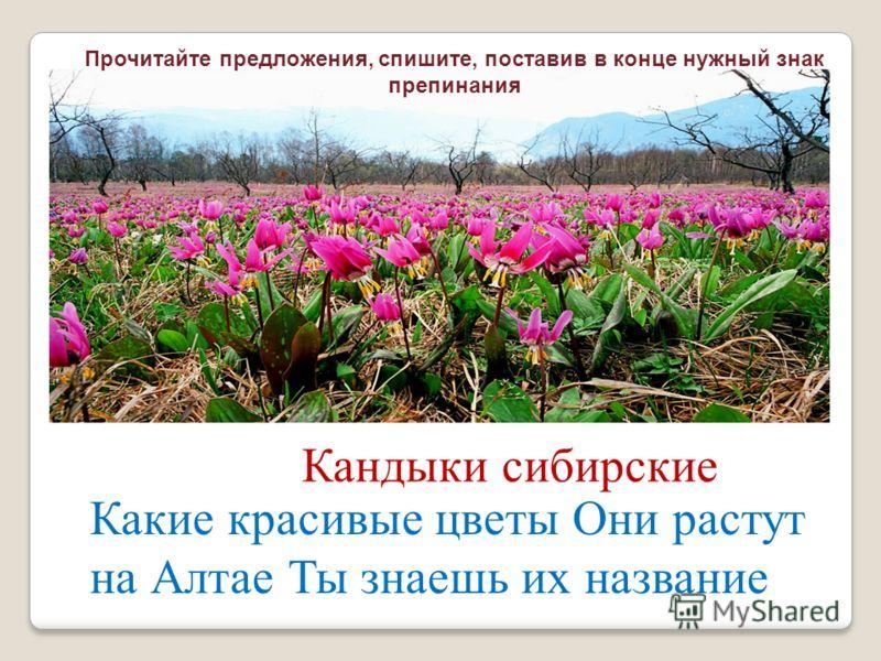 Какие красивые цветы Они растут на Алтае Ты знаешь их название Кандыки сибирские Прочитайте предложения, спишите, поставив в конце нужный знак препинания