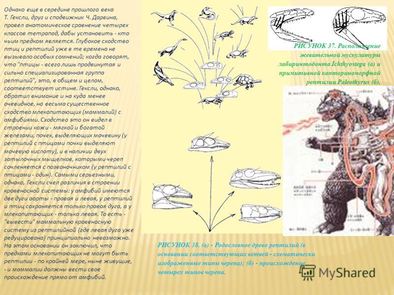 Однако еще в середине прошлого века Т. Гексли, друг и сподвижник Ч. Дарвина, провел анатомическое сравнение четырех классов тетрапод, дабы установить - кто чьим предком является. Глубокое сходство птиц и рептилий уже в те времена не вызывало особых с