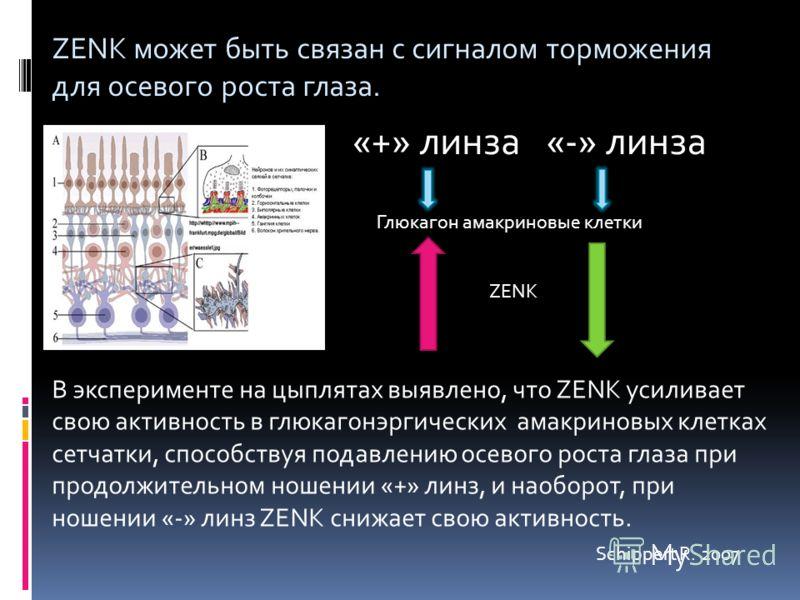 В эксперименте на цыплятах выявлено, что ZENK усиливает свою активность в глюкагонэргических амакриновых клетках сетчатки, способствуя подавлению осевого роста глаза при продолжительном ношении «+» линз, и наоборот, при ношении «-» линз ZENK снижает