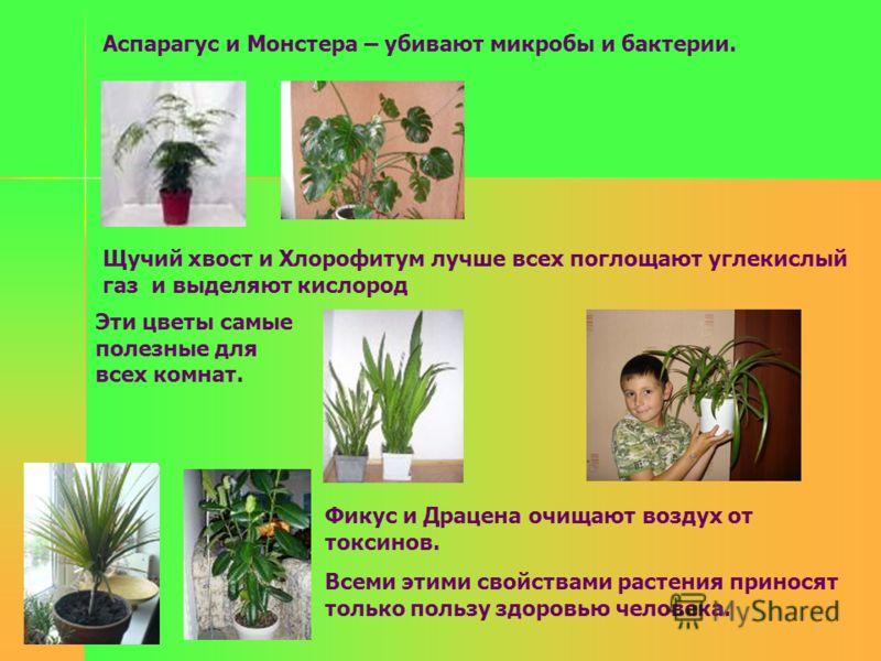 Аспарагус и Монстера – убивают микробы и бактерии. Щучий хвост и Хлорофитум лучше всех поглощают углекислый газ и выделяют кислород Эти цветы самые полезные для всех комнат. Фикус и Драцена очищают воздух от токсинов. Всеми этими свойствами растения