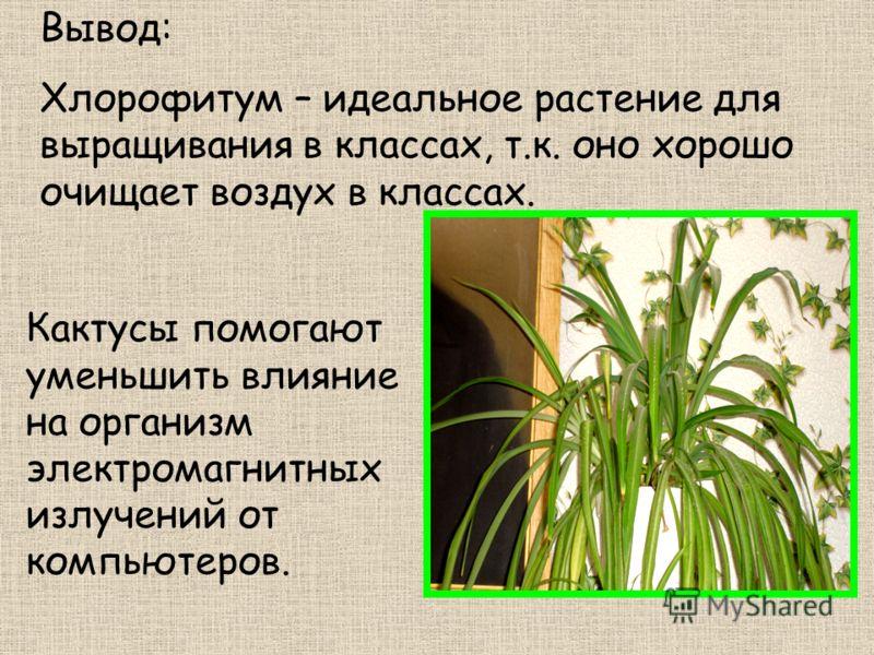 Вывод: Хлорофитум – идеальное растение для выращивания в классах, т.к. оно хорошо очищает воздух в классах. Кактусы помогают уменьшить влияние на организм электромагнитных излучений от компьютеров.