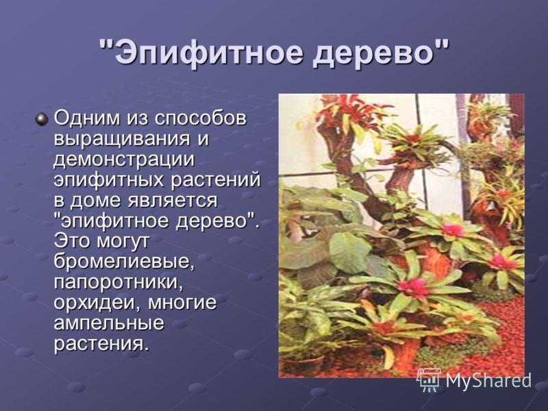 Эпифитное дерево Одним из способов выращивания и демонстрации эпифитных растений в доме является эпифитное дерево. Это могут бромелиевые, папоротники, орхидеи, многие ампельные растения.