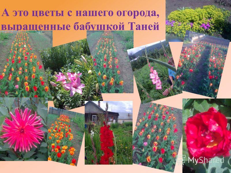 А это цветы с нашего огорода, выращенные бабушкой Таней