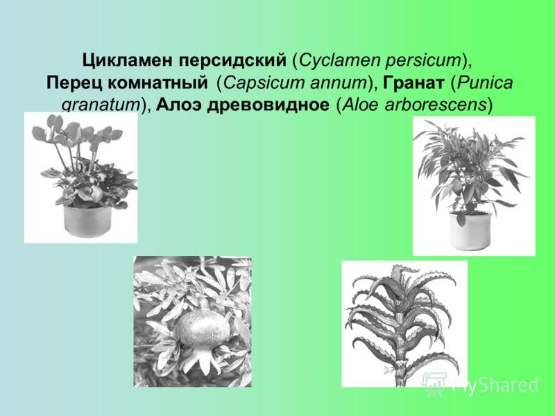 Цикламен персидский (Cyclamen persicum), Перец комнатный (Capsicum annum), Гранат (Punica granatum), Алоэ древовидное (Aloe arborescens)