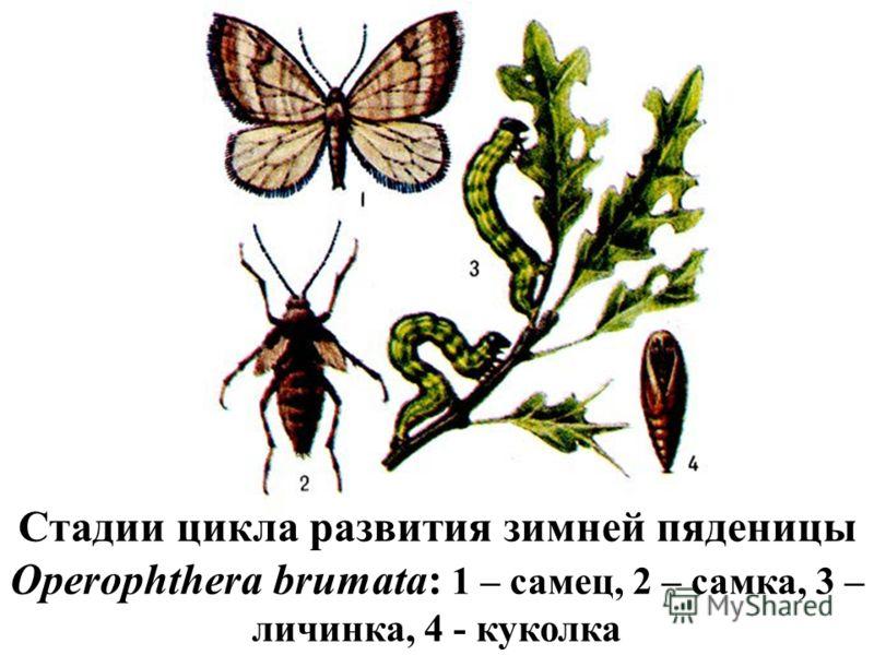 Стадии цикла развития зимней пяденицы Operophthera brumata: 1 – самец, 2 – самка, 3 – личинка, 4 - куколка