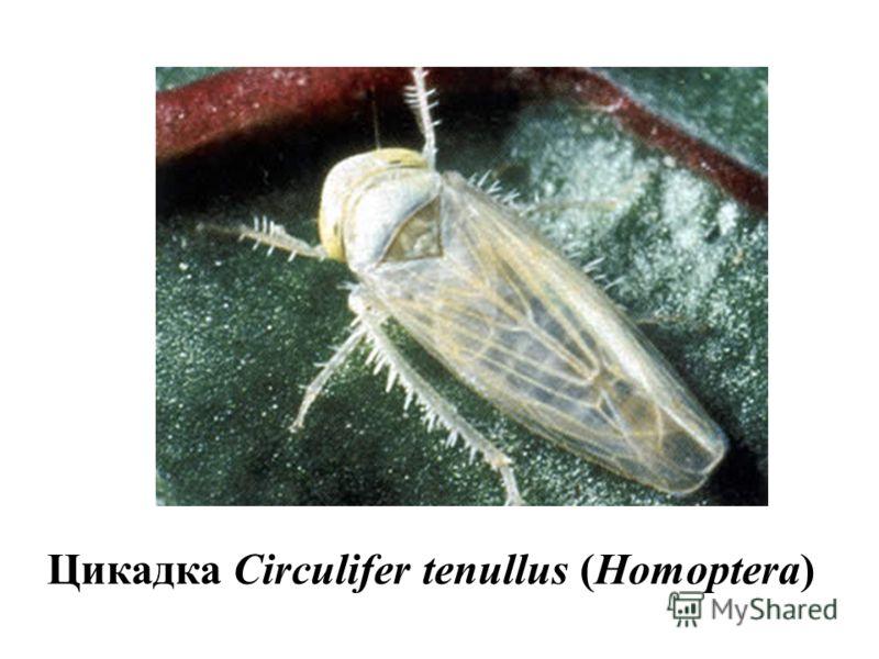 Цикадка Circulifer tenullus (Homoptera)