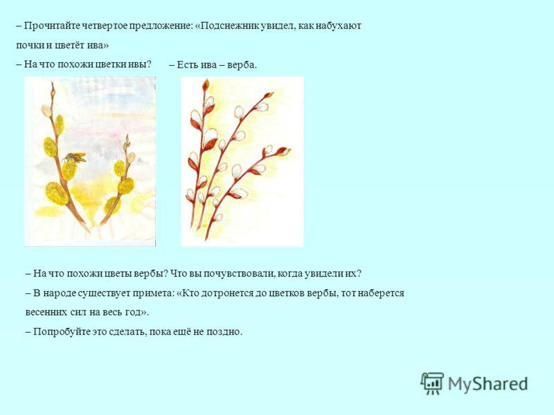 – Есть ива – верба. – Прочитайте четвертое предложение: «Подснежник увидел, как набухают почки и цветёт ива» – На что похожи цветки ивы? – На что похожи цветы вербы? Что вы почувствовали, когда увидели их? – В народе существует примета: «Кто дотронет