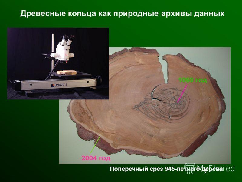 Поперечный срез 945-летнего дерева Древесные кольца как природные архивы данных