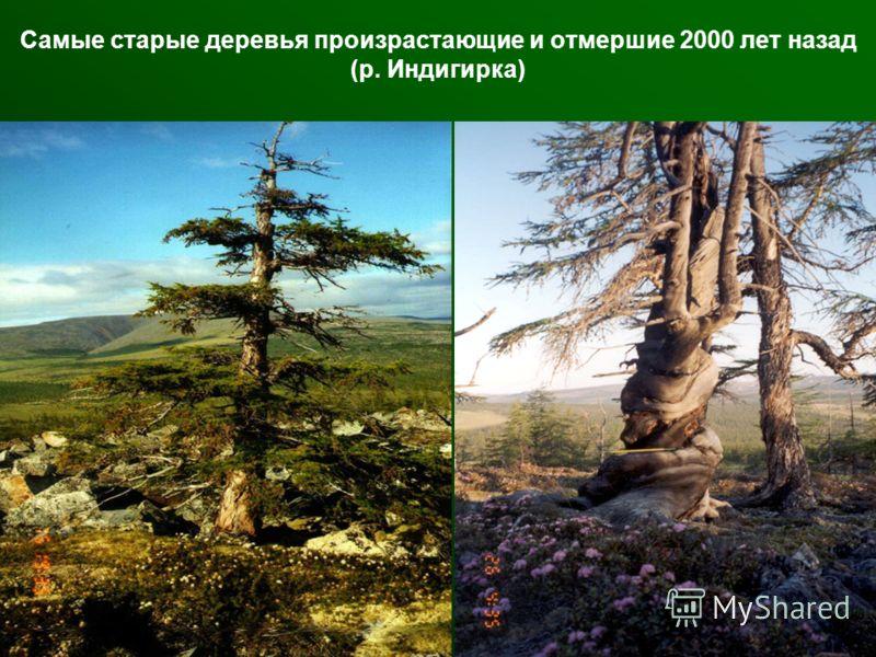 Самые старые деревья произрастающие и отмершие 2000 лет назад (р. Индигирка)