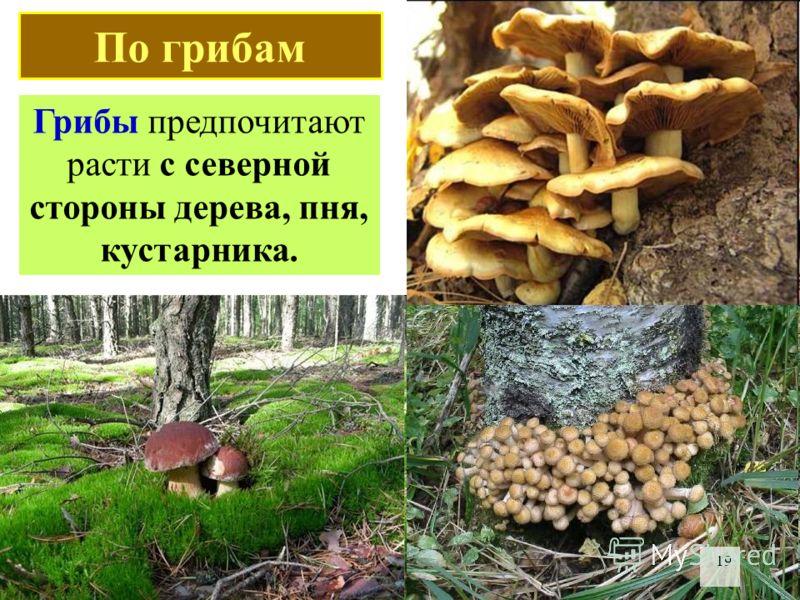 Грибы предпочитают расти с северной стороны дерева, пня, кустарника. 19 По грибам