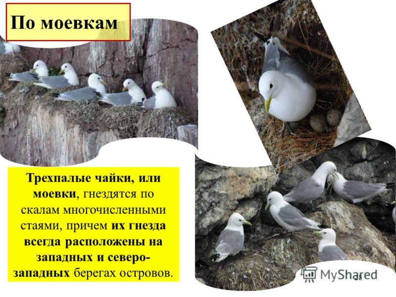 Трехпалые чайки, или моевки, гнездятся по скалам многочисленными стаями, причем их гнезда всегда расположены на западных и северо- западных берегах островов. 28 По моевкам