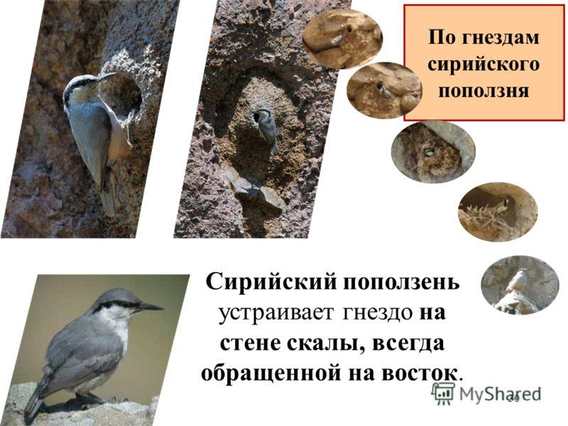 Сирийский поползень устраивает гнездо на стене скалы, всегда обращенной на восток. 30 По гнездам сирийского поползня