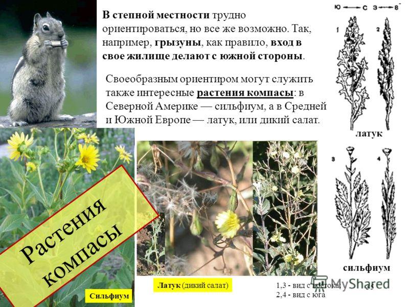 Своеобразным ориентиром могут служить также интересные растения компасы: в Северной Америке сильфиум, а в Средней и Южной Европе латук, или дикий салат. Латук (дикий салат) Сильфиум В степной местности трудно ориентироваться, но все же возможно. Так,