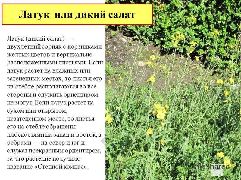 Латук (дикий салат) двухлетний сорняк с корзинками желтых цветов и вертикально расположенными листьями. Если латук растет на влажных или затененных местах, то листья его на стебле располагаются во все стороны и служить ориентиром не могут. Если латук