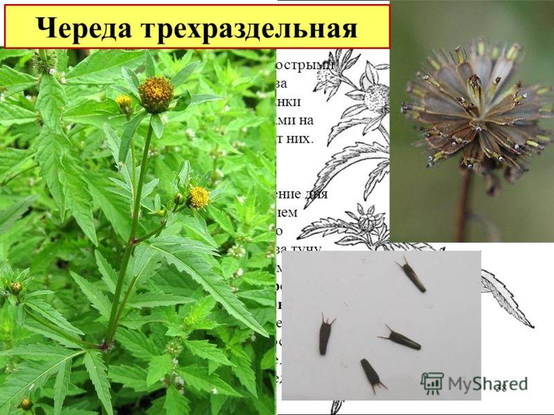 Многим это растение помнится своими острыми семенами (семянками), цепляющимися за одежду. Клиновидные сплюснутые семянки снабжены двумя зазубренными щетинками на широком конце. Не просто очиститься от них. Череда – очень светолюбивое растение, предпо