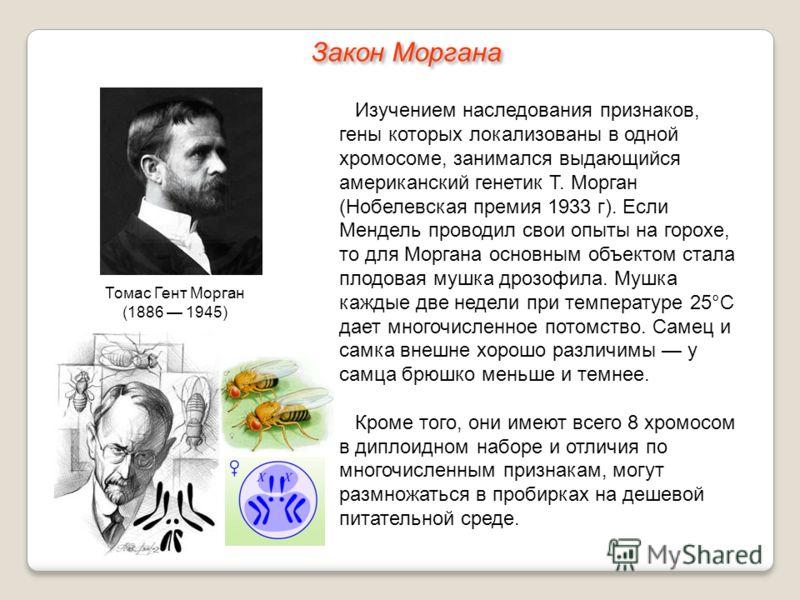 Изучением наследования признаков, гены которых локализованы в одной хромосоме, занимался выдающийся американский генетик Т. Морган (Нобелевская премия 1933 г). Если Мендель проводил свои опыты на горохе, то для Моргана основным объектом стала плодова