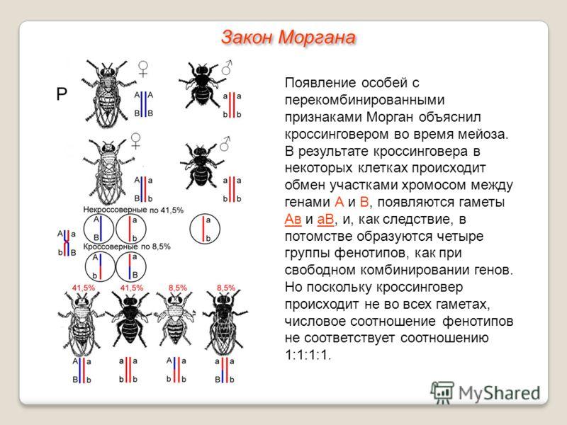 Появление особей с перекомбинированными признаками Морган объяснил кроссинговером во время мейоза. В результате кроссинговера в некоторых клетках происходит обмен участками хромосом между генами А и В, появляются гаметы Ав и аВ, и, как следствие, в п