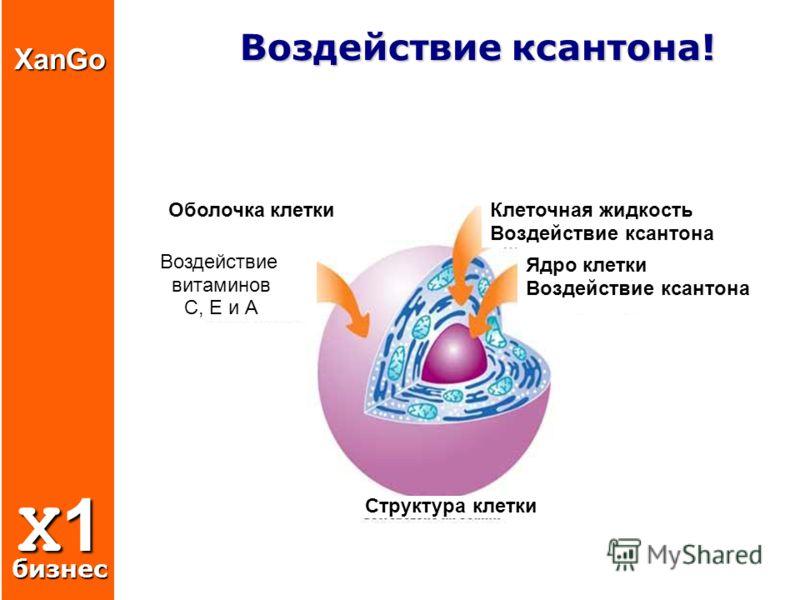 Воздействие ксантона! Воздействие ксантона! Воздействие витаминов С, Е и А Клеточная жидкость Воздействие ксантона Ядро клетки Воздействие ксантона Структура клетки Оболочка клеткиXanGo X1 бизнес