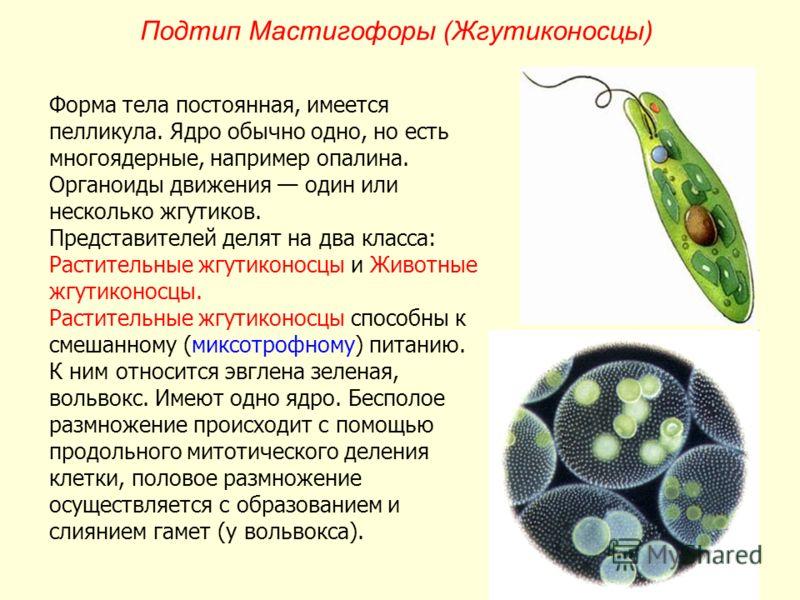 Подтип Мастигофоры (Жгутиконосцы) Форма тела постоянная, имеется пелликула. Ядро обычно одно, но есть многоядерные, например опалина. Органоиды движения один или несколько жгутиков. Представителей делят на два класса: Растительные жгутиконосцы и Живо
