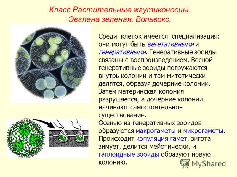 Среди клеток имеется специализация: они могут быть вегетативными и генеративными. Генеративные зооиды связаны с воспроизведением. Весной генеративные зооиды погружаются внутрь колонии и там митотически делятся, образуя дочерние колонии. Затем материн