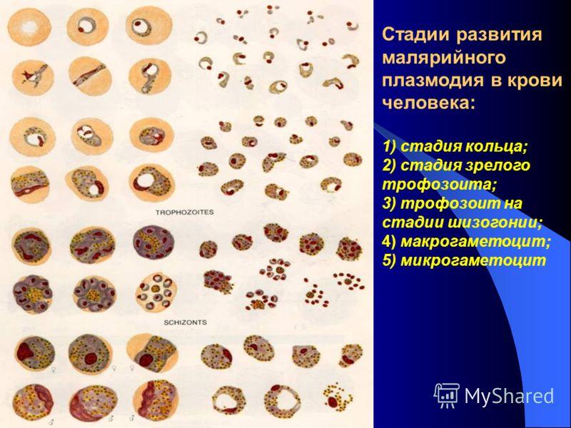 Микрогаметоцит фото