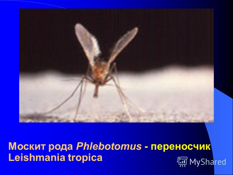 Москит рода Phlebotomus - переносчик Leishmania tropica